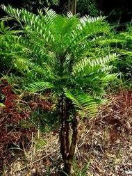 Bentuk pohon dan daun pasak bumi yang masih belum di cabut  dari tanah