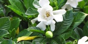 bunga dan daun kacapiring 01